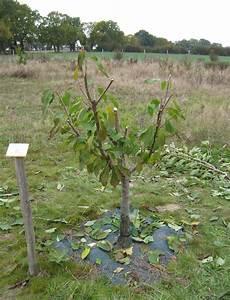 Taille De Cerisier : la taille des arbres fruitiers noyaux ~ Melissatoandfro.com Idées de Décoration