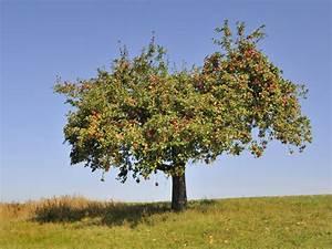 Mein Apfelbaum Anleitung : apfelbaum krankheiten ein apfelbaum mehrere krankheiten ~ Lizthompson.info Haus und Dekorationen