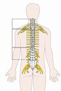 Diagram Of Spinal Column