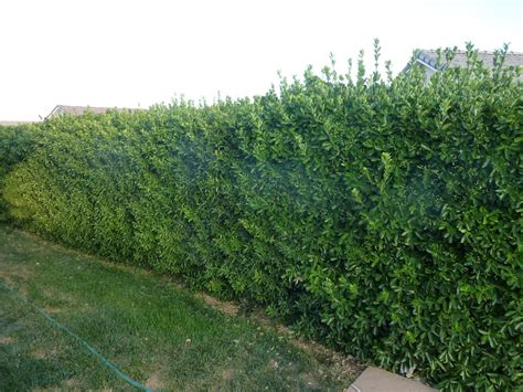 bushes shrubs sprinkler juice fast growing trees and bushes to provide privacy