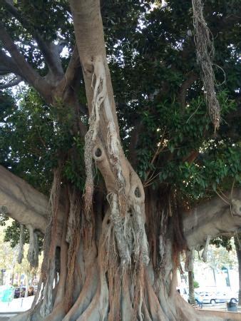gummibaum im freien jahrhunderte alte gummib 228 ume bild parque de canalejas alicante tripadvisor