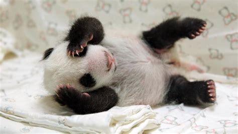 video  bebe panda retrouve sa mere  mois apres sa