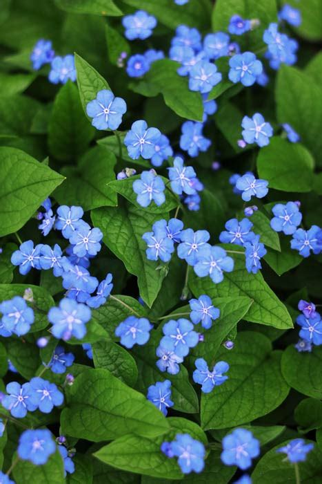 blaue blumen kostenlose bilder  titania foto