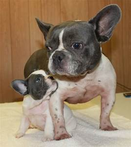 The gallery for --> Adult Male French Bulldog