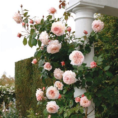 david garden roses best 25 david austin roses ideas on pinterest