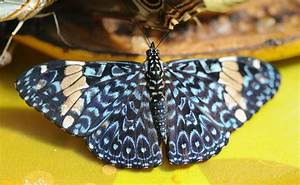 Hamadryas  Butterfly