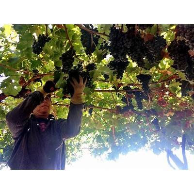 wine juice from chile Archives - Musto Wine Grape Company
