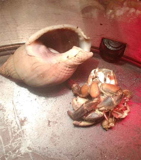 Do Hermit Crabs Shed Shell by Hermit Crabs Surface Molting
