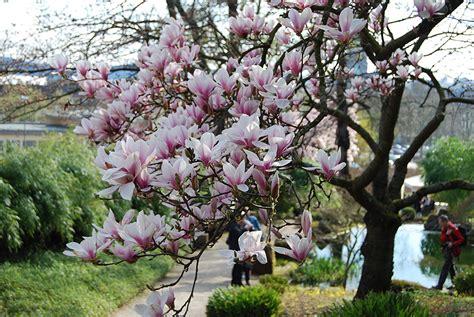 Japanischer Garten Kaiserslautern Kirschblütenfest by Das Kirschbl 252 Tenfest Im Japanischen Garten Kaiserslautern