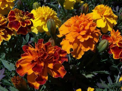 dm color express marigold bonanza mixdm color express