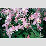 Purple Saxifrage   407 x 268 jpeg 34kB
