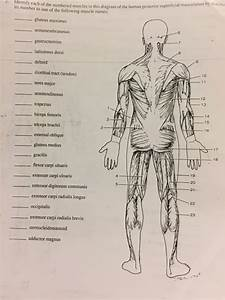 Solved  Identify Each Of The Numbered Muscles In This Diag