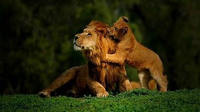 Lion Leones Screensavers Wallpapers Lions Animales Nature