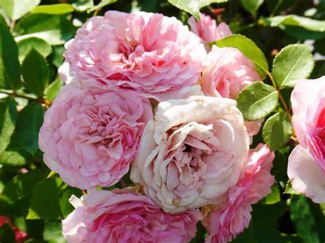 Gartentraum Flessau Kletterrose Mini Eden Rose