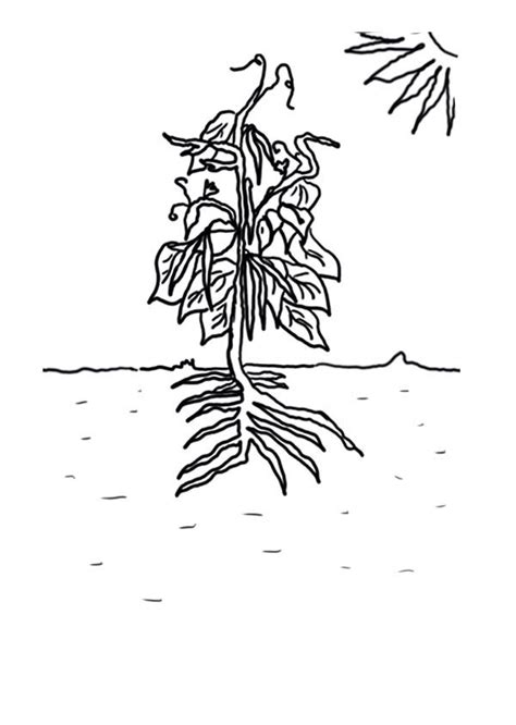 growing plants green bean coloring page coloring sky