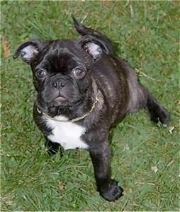 Bug Dog Breed