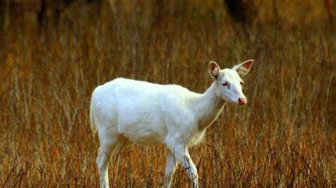 Petition · Save the rare white deer of Seneca · Change.org