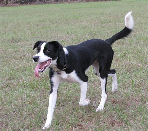 Border Collie Terrier Mix Shedding by Border Beagle Border Collie X Beagle Mix Info