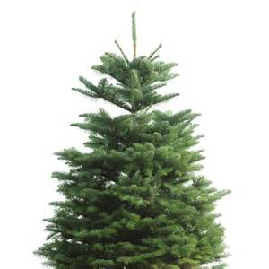 shop 3 ft to 5 ft fresh cut noble fir tree at lowes