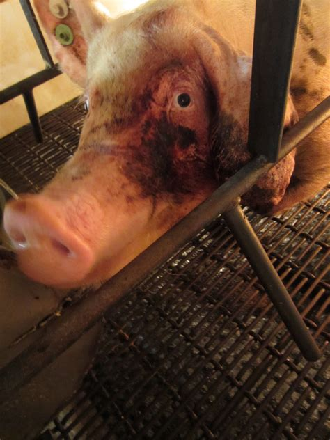 group releases undercover video  livestock abuse  iowa