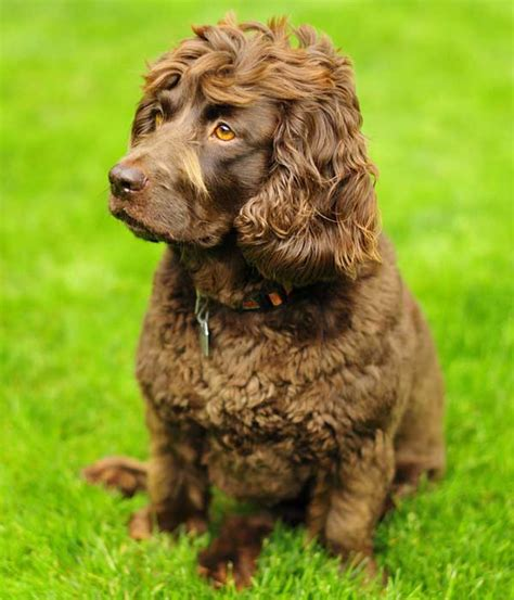 Do Boykin Spaniel Dogs Shed by Get To The Boykin Spaniel South Carolina S State