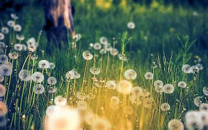 Field Dandelions Wallpapers Desktop Dandelion Background Backgrounds