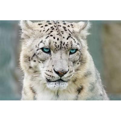 Snow Leopards (with image tweet) · Brusnikin Storify