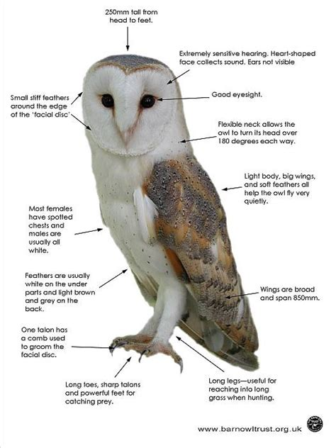 barn owl facts barn owl facts all you need to about barn owls