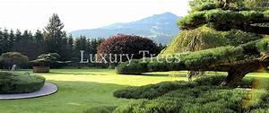 Baumschule luxurytreesr schweiz for Garten planen mit bonsai acer