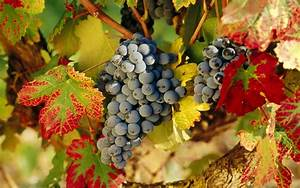 Grapes Wallpapers, Pictures, Images