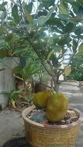 Jackfruit plant in a pot. | * *Bangladesh* * | Pinterest