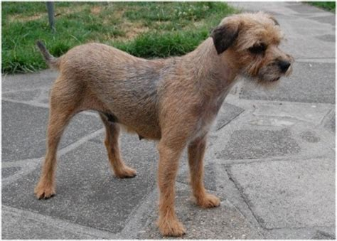 do border terriers shed border terrier puppies breeders facts pictures