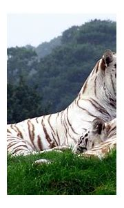 White Siberian Tiger Wallpapers (62+ background pictures)