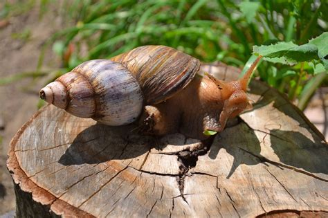 intriguing information  common periwinkle snails
