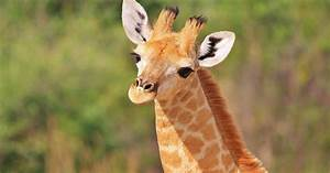 How long do I have to watch that giraffe before it has its ...  Giraffe