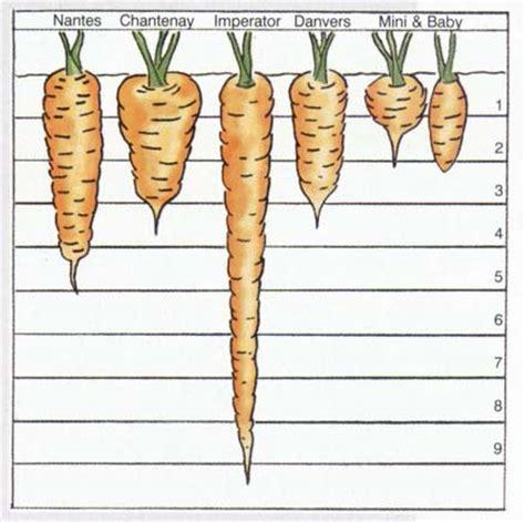 mian shapes  carrots