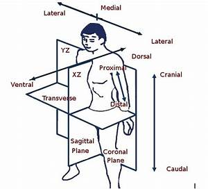 Zara U0026 39 S Viewpoint   Anatomical Planes And Directions Of The