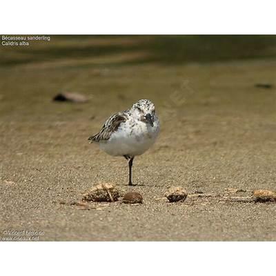 Sanderling - Calidris alba ref:vile62694