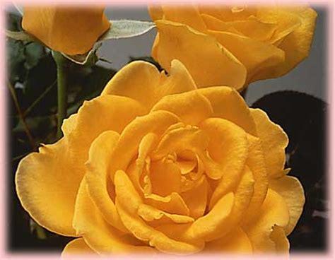 henry fonda rosa hybrid tea henry fonda regan nursery
