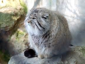 pallas cat pallas cats images pallas cat wallpaper and background