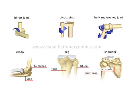 Muscular/skeletal Systems + Joints