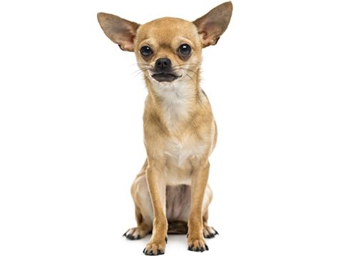 life expectancy    americas  popular dog breeds