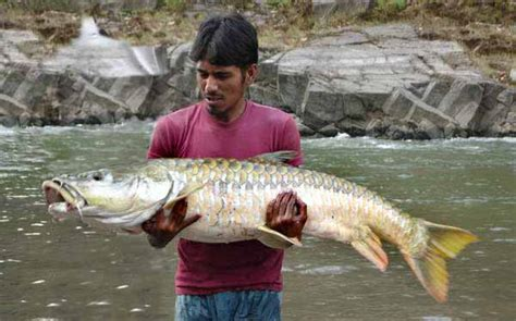 spreebird wildlife mahseer national fish  pakistan