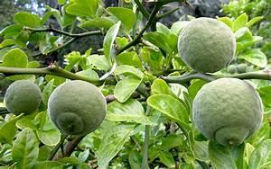 Pflanze Mit Stacheln : dreibl ttrige zitrone pflanze poncirus trifoliata citrus canna cystus pflanzen ~ Frokenaadalensverden.com Haus und Dekorationen