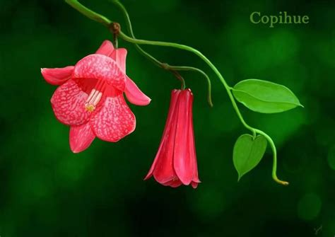 copihue chile s national flower tattoos vines flower and study