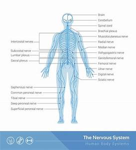 Diagram  Easy Diagram Of The Nervous System Full Version