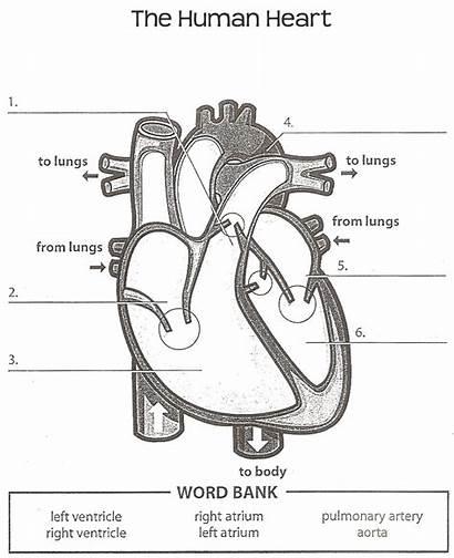Heart Human Anatomy Label Diagrams Worksheet Parts
