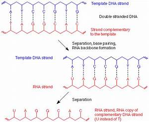 nucleic acids With when an rna strand forms using dna as a template