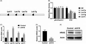 Lncrna H19 Binds To Let