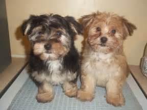 Maltese Yorkie Morkie Puppies